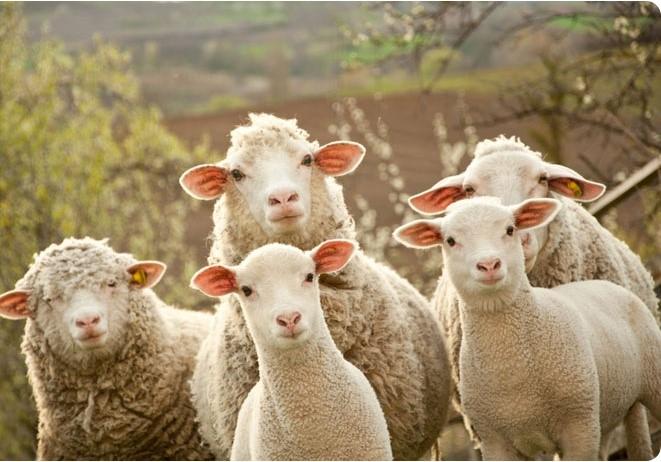 <center><b>Овцы снимают на камеру Фарерские острова</center></b>