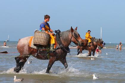 <center><b>В Бельгии туристам предложили ловить креветок на лошадях</center></b>