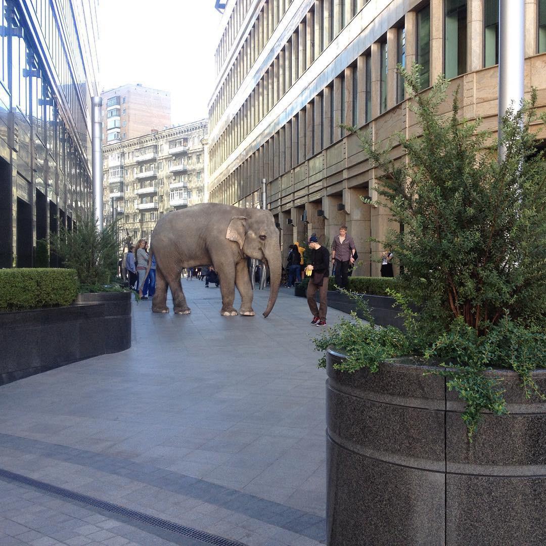 По улицам Москвы выгуляли слона