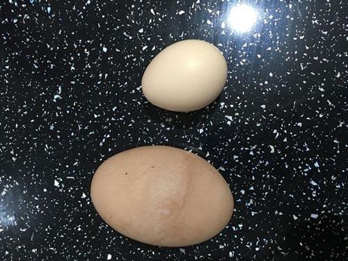 Обычная британская курица снесла гигантское яйцо