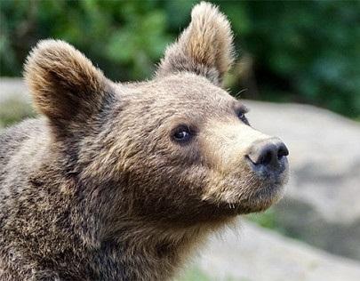 Медведь угнал внедорожник