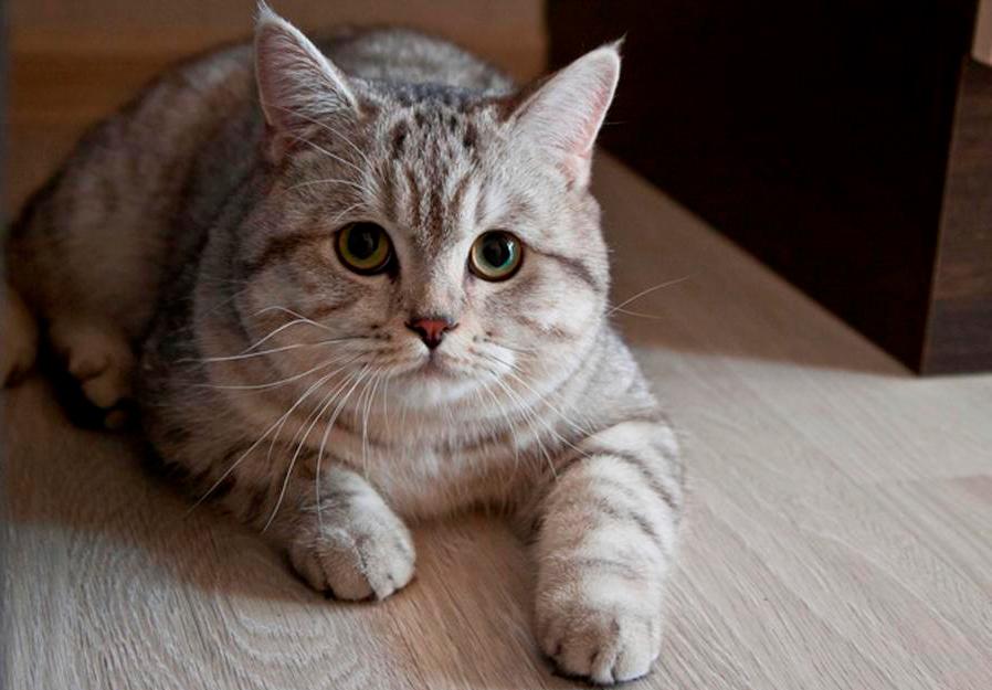 Сибиряк продаёт кота за 5 миллионов