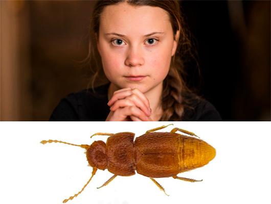 Экоактивисты назвали жука в честь Греты Тунберг