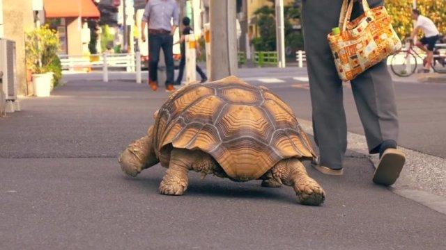 Итальянку оштрафовали за выгул черепахи