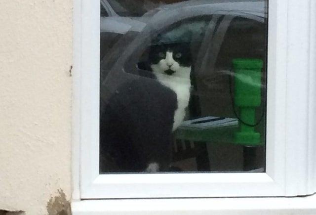 Британские коты ходят ужинать в разные дома