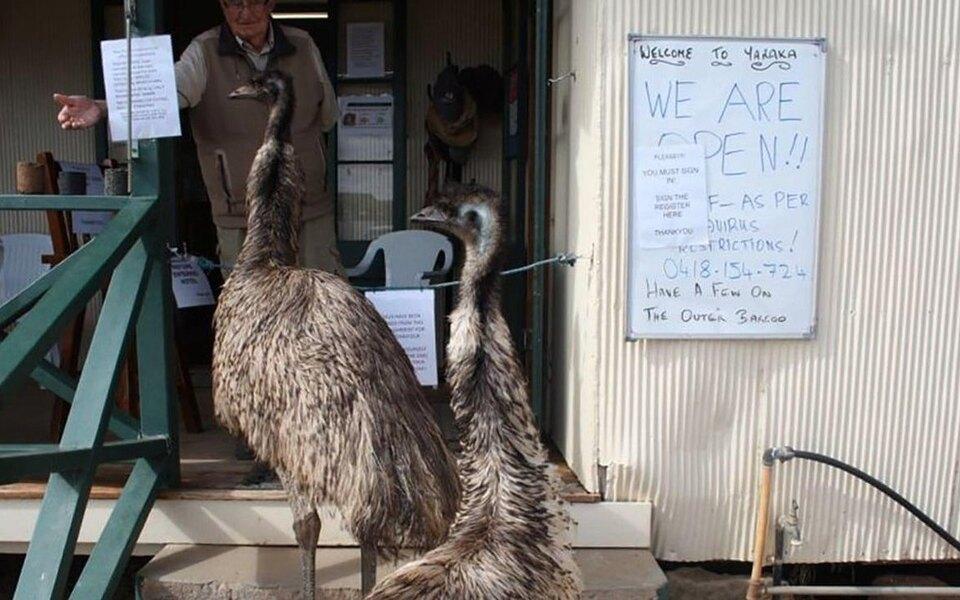 В Австралии страусам запретили посещать бар из-за дебоша