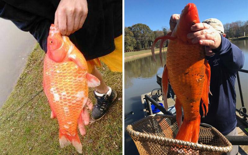 В США выловили золотую рыбку гиганта
