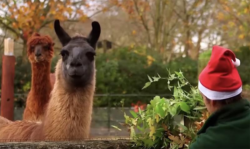 Британские ламы слопали рождественские украшения