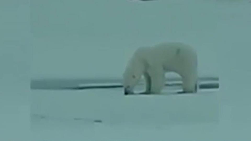 Белый медведь украл у якутского рыбака удочку