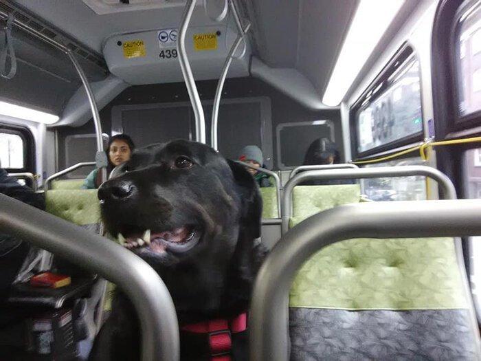Собака самостоятельно ездит на автобусе на прогулку в парк