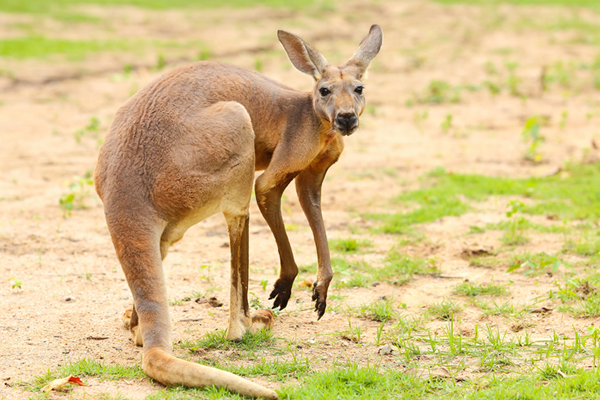 <center><b>Австралийский кенгуру влюбился в туристку</center></b>