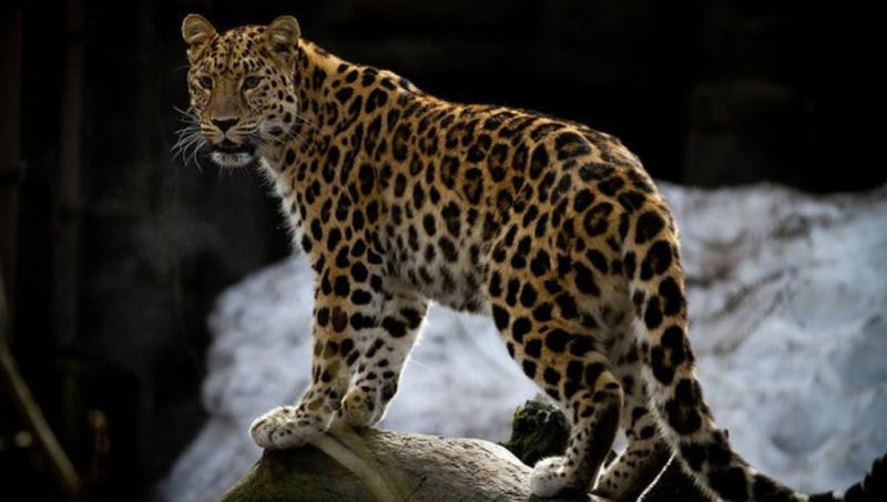 <center><b>Леопард-пенсионер удивил ученых</center></b>